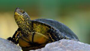 Țestoasa de apă (Emys orbicularis)