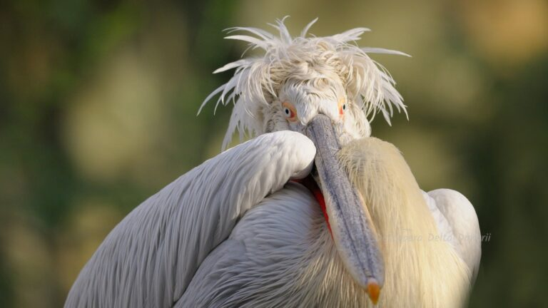 Pelicanul cret in penaj nuptial