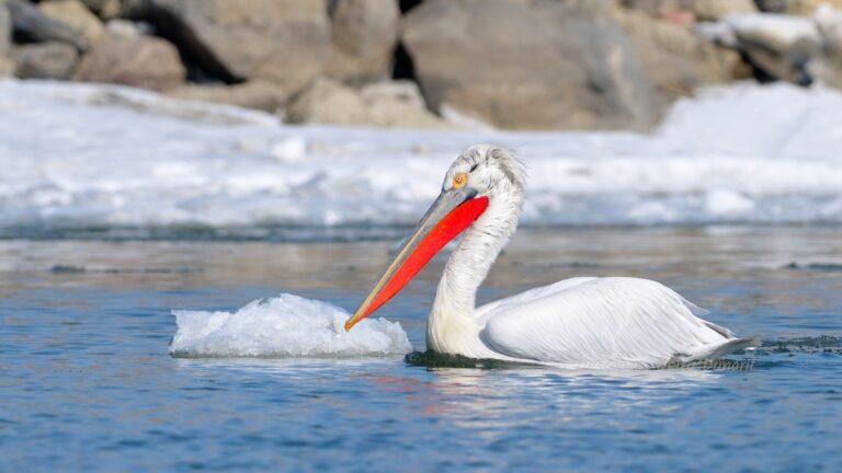 Pelican Cret iarna
