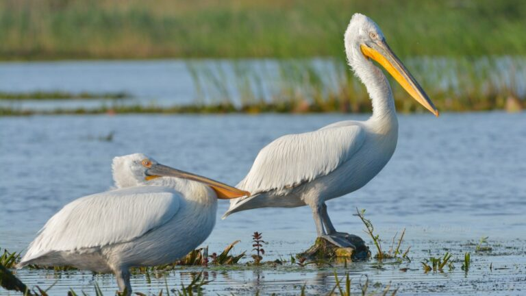 Pelicani Creti vara