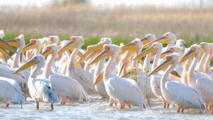 Pelicani comuni in Delta Dunarii
