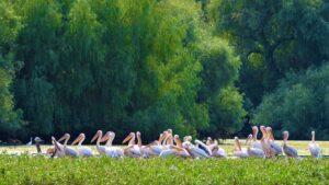 Pelicani comuni la Mila23