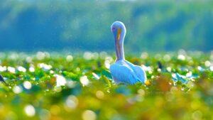 Pelicanul comuna vara