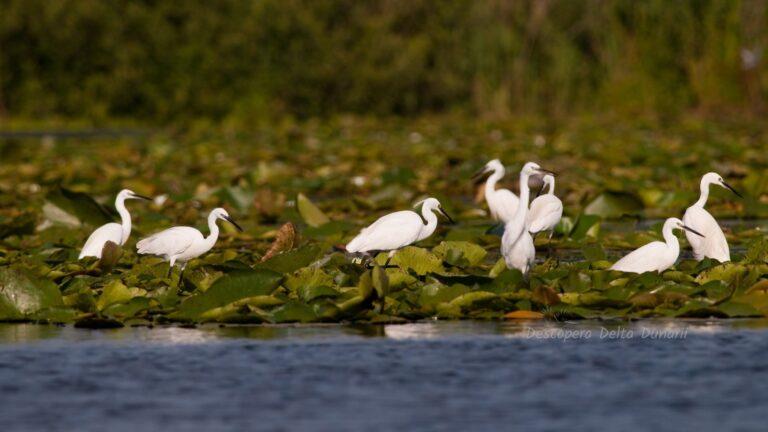 Grup de egrete mici cautand hrana pe un covor de frunze de nuferi.