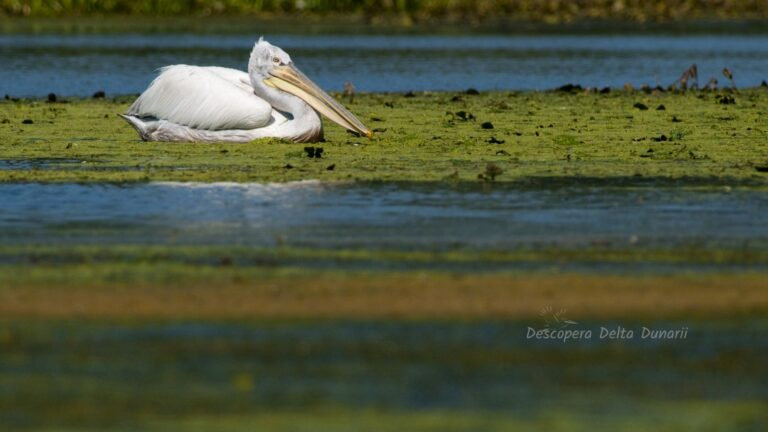 Pelican cret vara