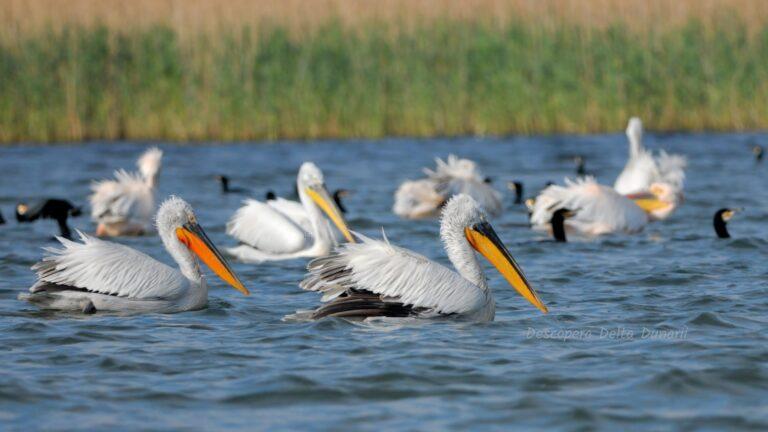 Pelicani creti la pescuit