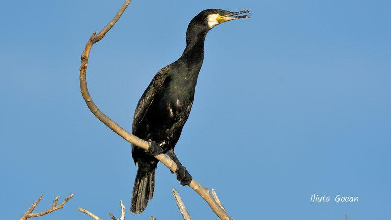 Cormoran mare adult