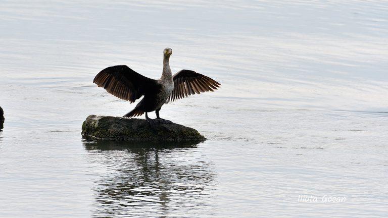Cormoran mare la uscat