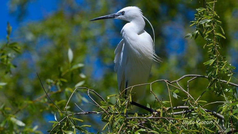 Egreta mica in salcie