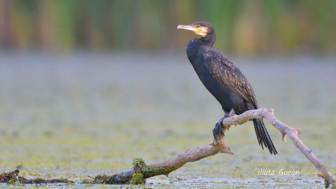 Cormoran mare vara