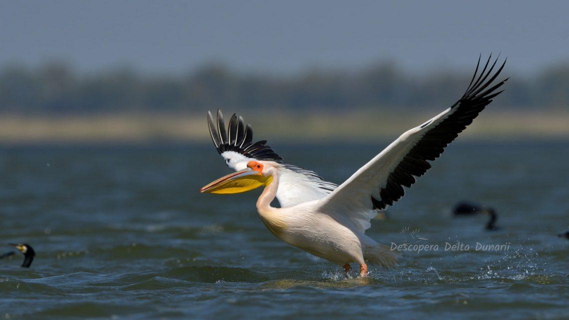 Pelican luandu-si zborul